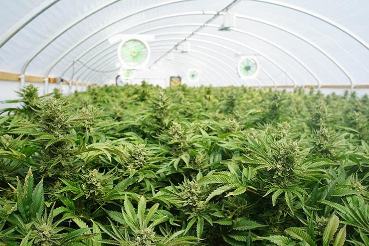 Can Cannabis Treat TMJ?